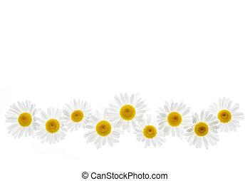 margarida, flor, borda