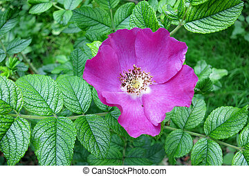 Rugosa rose or Japanese rose Rosa rugosa