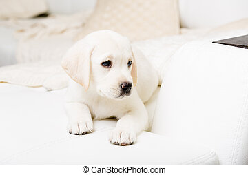 Close up of white puppy lying on the sofa