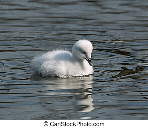 Cygnet - Black-necked Swan Cygnet with reflection