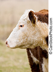 Close-up of hereford cow - A high country Hereford bull...