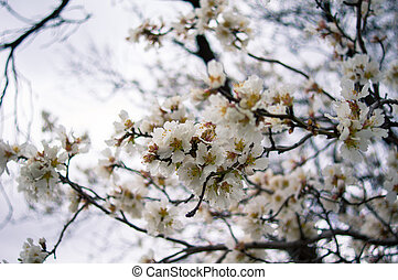 Spring time: blooming cherry tree