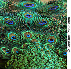peacock feathers detail 1 - feathers back and tail for...