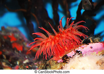 Red Sea Anemone - Red sea anemone attached to a rock under...
