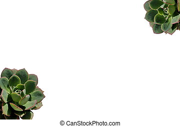 Close up of succulent plant isolated on white background
