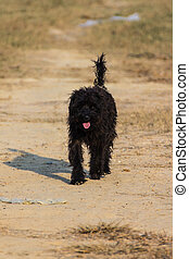 Black shaggy dog in Dry lawn