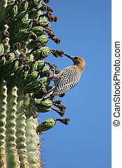gila woodpecker - Gila woodpecker on cactus