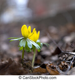 winter aconite - Close up of yellow winter aconite among...