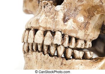 modelo, humano, dientes, (skull), blanco, Plano de fondo