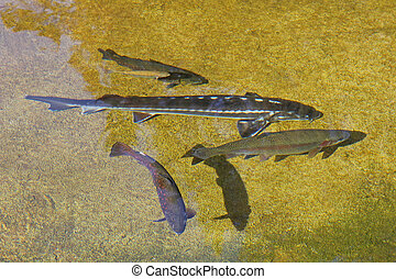 Brown trouts swimming in a pond in Europe