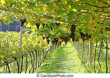Ripe red wine Grapes in Italy - Ripe red wine Grapes in...