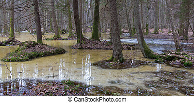 Springtime morning in wetland forest - Spring landscape of...