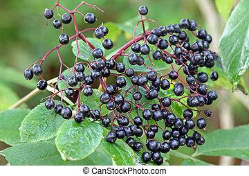 Elderberry (Sambucus Berries) tree with fruit in the garden