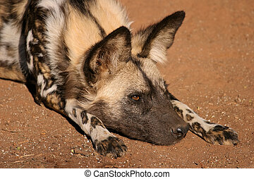 African wild dog - Portrait of an African wild dog or...