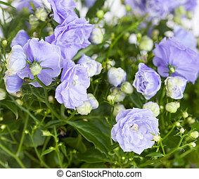 azul, Arriba,  Campanula,  terry, cierre, flores