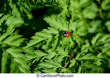 Closeup of ladybird on cow parsley - Closeup of a ladybug on...
