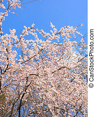 Weeping cherry blossoms and sky - Weeping cherry blossoms...