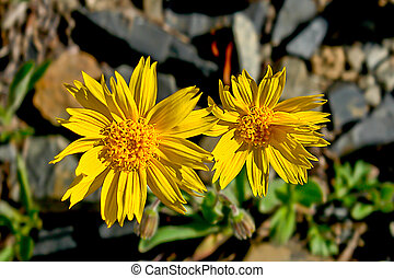Mountain arnica flowers covered tundra.