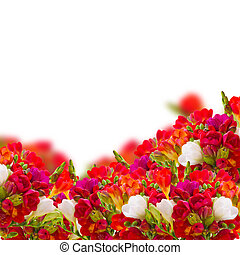 garden with red freesia flowers isolated on white background...