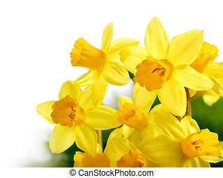Fresh bright daffodils isolated on white - Bright studio...