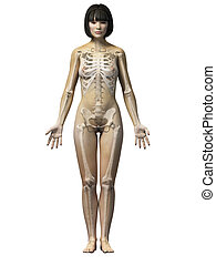 Asian woman - Anatomy of an asian woman - skeleton