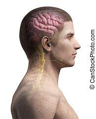 anatomie, homme