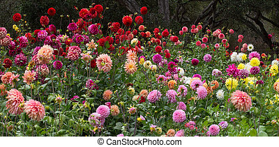 colorful pom pom dahlias - garden full of colorful pom pom...