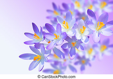 Alpine crocuses spring flowers on blurred background -...