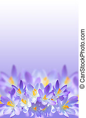 Violet spring crocus flowers on blurred background with...