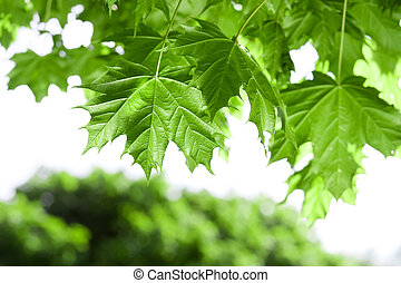 Spring Maple leaves under sun beams