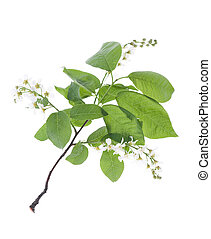 Bird Cherry Tree flowers - Spring Bird Cherry Tree flowers...