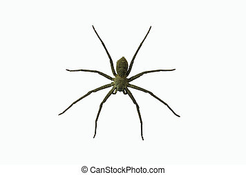 Wolf spiders LYCOSA SP. - Wolf spiders LYCOSA SP isolated on...