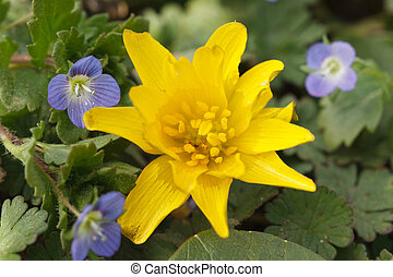 Yellow Caltha flower and small blue Germander Speedwell -...