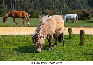 Typical wild pony in New Forest National Park