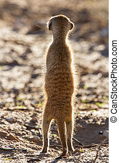 Suricate sentry standing in the early morning sun back lit...