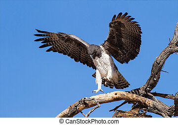 Majestic martial eagle landing in a dead tree after long...