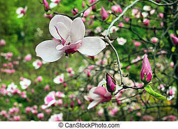 Blossoming of magnolia flower with burgeons - Blossoming of...