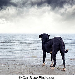 Dog afraid of the water - Cute black dog standing at the...