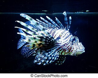 saltwater fish - blue and white stripped exotic salt water...