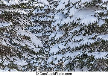 Pinos, cubierto, con, nieve