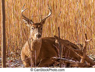 Whitetail Deer Buck bedded in a woods.