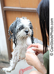 Dog taking a shower with soap and water - The Dog taking a...