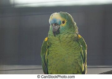 papuga,  -, amazonka,  orange-winged,  amazona,  amazonica