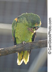 papuga,  -, amazonka,  orange-winged,  amazona,  amazonica