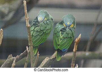 Orange-winged Amazon Parrot - Amazona amazonica - An...