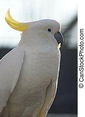 Sulphur-crested Cockatoo - Cacatua galerita
