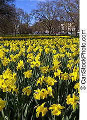 Daffodils in Hyde Park - Springtime Daffodils in London's...