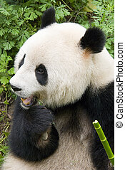 giant panda - a giant panda eating green bamboo