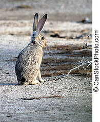 Black-tailed Jackrabbit - A Black-tailed Jackrabbit in the...