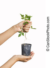 destroying plant - human destroys plant by pull out off...